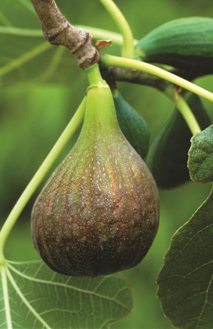 Fig 'Brown Turkey'