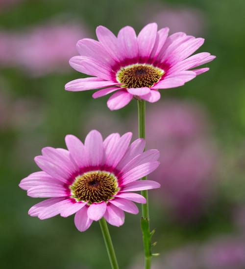 Argyranthemum frutescens 'Grandaisy Pink Halo'