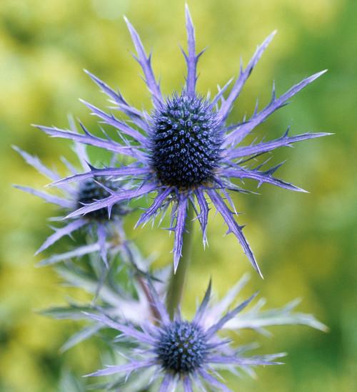 Eryngium x zabelii 'Violet'