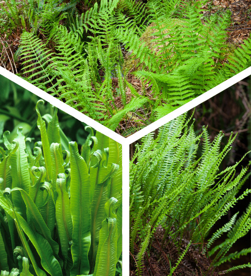 Native Fern Collection