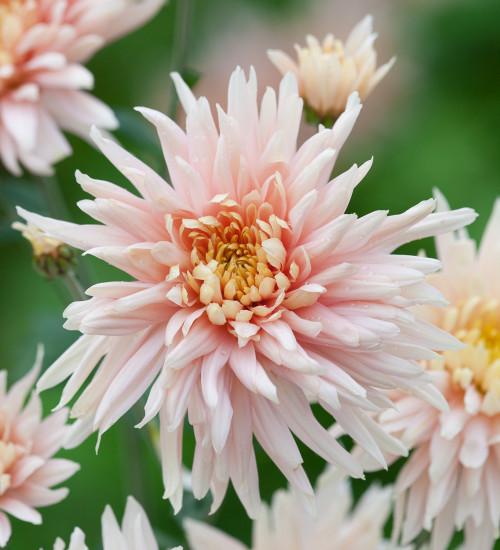 Chrysanthemum 'Avignon Pink'