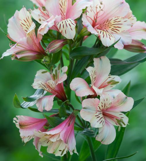 Alstroemeria 'Peaches and Cream'