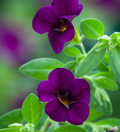Calibrachoa 'Cabaret Purple'