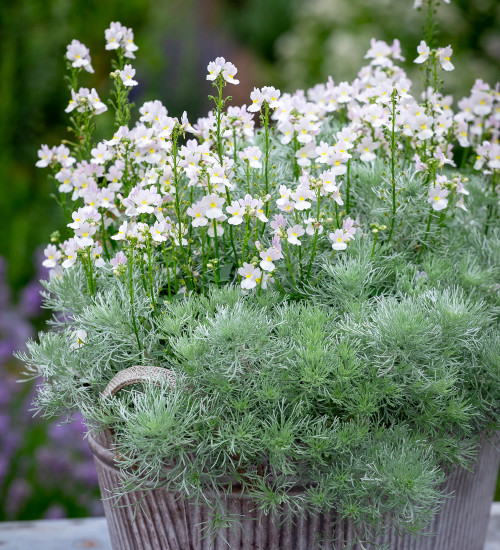 Scented White Pot Collection