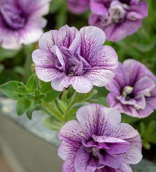 Petunia 'Tumbelina Priscilla'