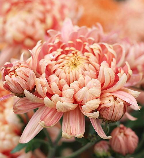 Chrysanthemum 'Allouise Salmon'