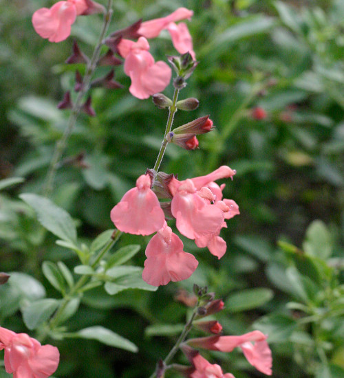 Salvia greggii 'Salmon Dance'
