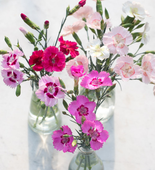 Dianthus Cocktail Collection