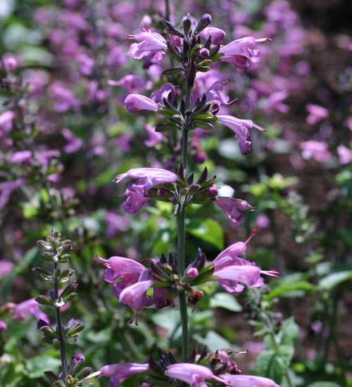 Salvia coccinea 'Summer Jewels Lavender'