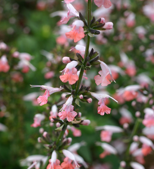 Salvia coccinea 'Summer Jewels Pink'