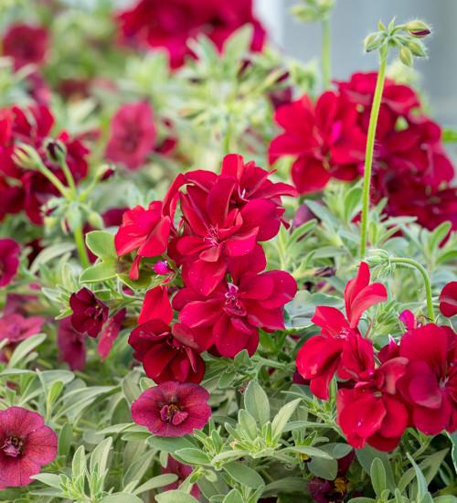 Pelargonium 'Precision Burgundy Red'