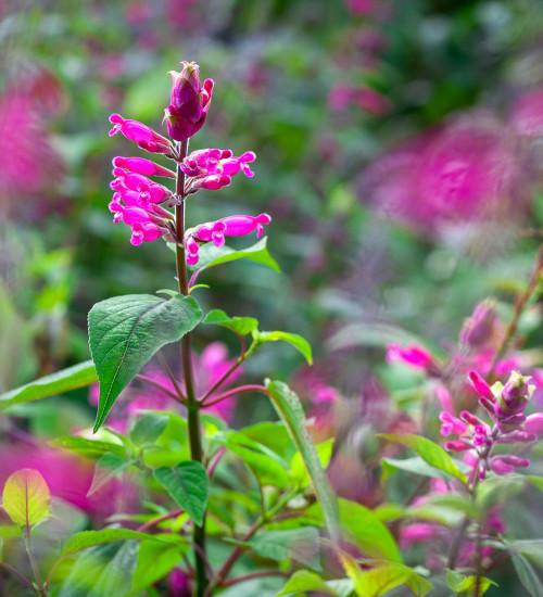 Salvia involucrata 'Hadspen'