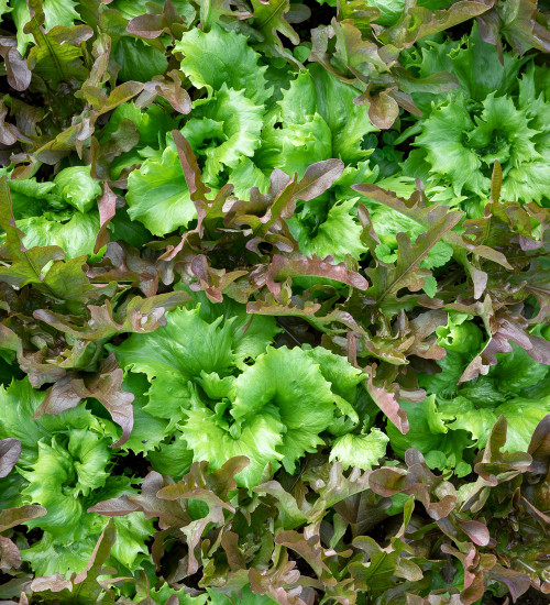 Crimson and Jade Pattern Lettuce Collection