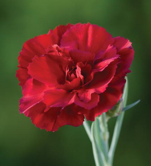 Dianthus 'Red Carpet'
