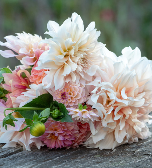 Strawberries and Cream Dahlia Collection