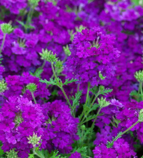 Verbena peruviana 'Enchantment Purple'