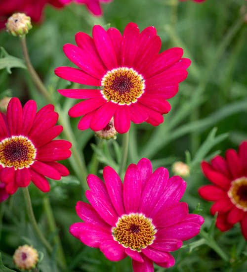 Argyranthemum frutescens 'Grandaisy Deep Red'