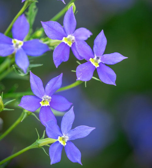 Isotoma axillaris 'Fizz 'n' Pop Purple'