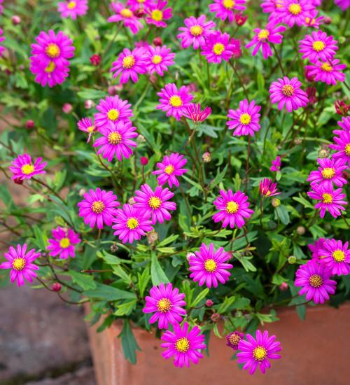 Brachyscome iberidifolia 'Magenta Delight'
