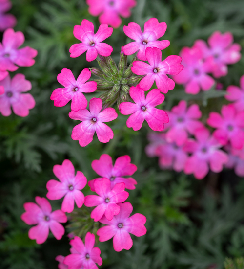 Verbena peruviana 'Enchantment Hot Pink'