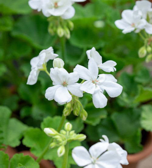 Pelargonium 'Designer White' (Zonal)