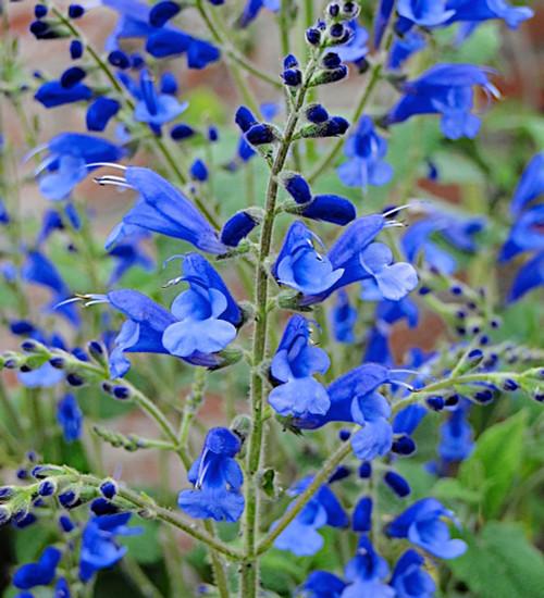 Salvia sagittata x 'Blue Butterflies'