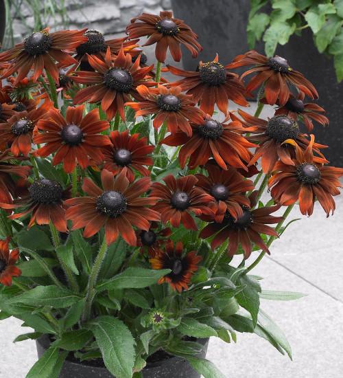 Echibeckia 'Summerina Brown'