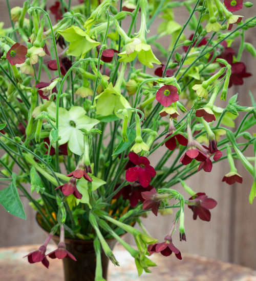 Rich and Zingy Nicotiana Collection