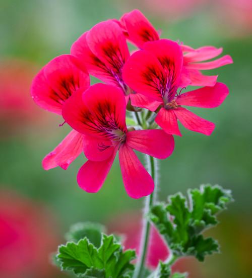 Pelargonium 'Shrubland Rose' (Scented)