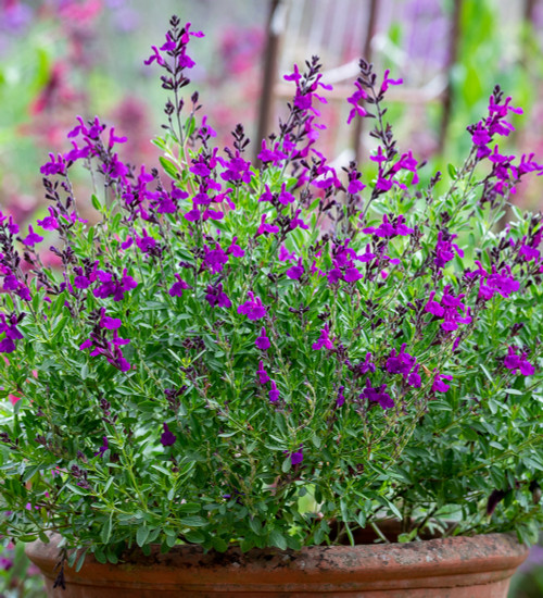 Salvia greggii 'Mirage Deep Purple'