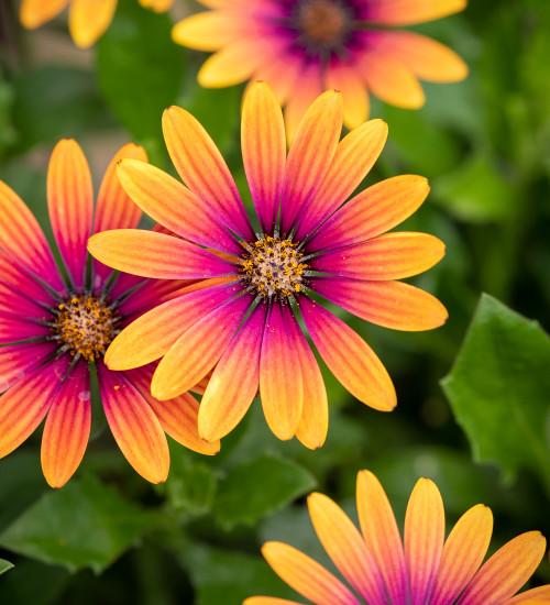 Osteospermum 'FlowerPower Purple Sun'