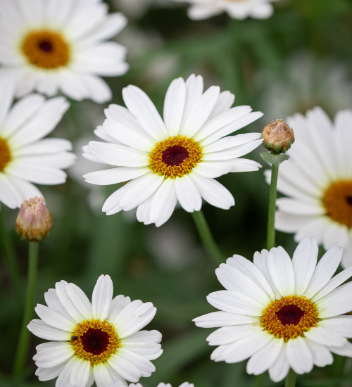 Argyranthemum frutescens 'Grandaisy Ivory White'
