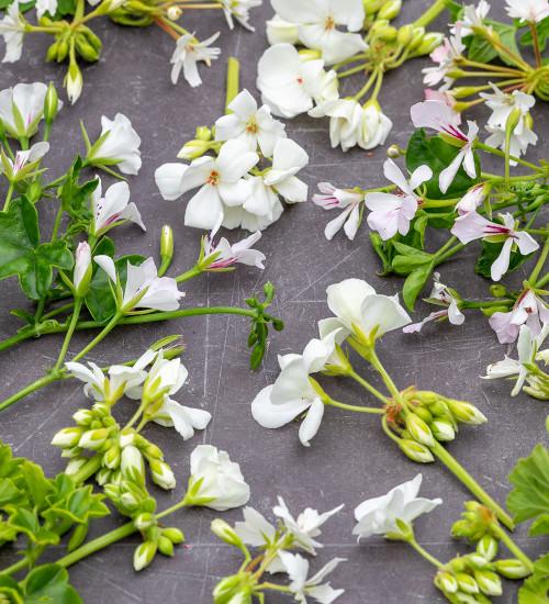 White Garden Pelargonium Collection