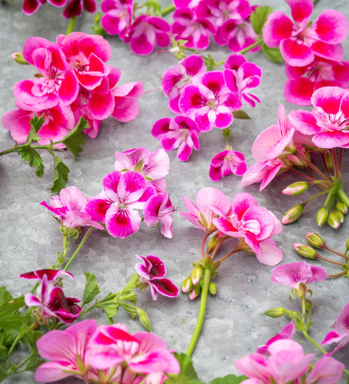 Frilly Knickers Pelargonium Collection