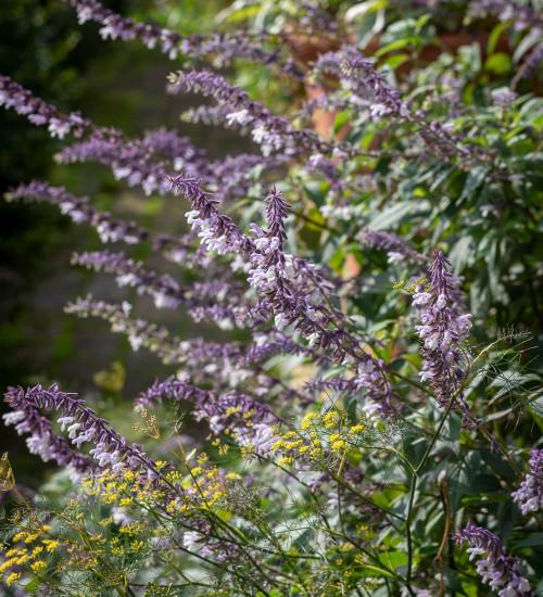 Salvia x 'Phyllis Fancy'
