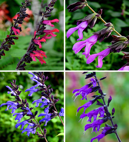 The Ultimate Salvia Collection