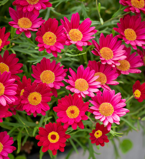 Argyranthemum frutescens 'Maderia Red'