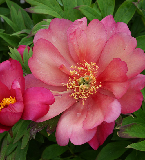 Paeonia 'Julia Rose' (Intersectional hybrid)