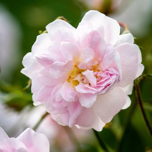Rosa 'Paul's Himalayan Musk'