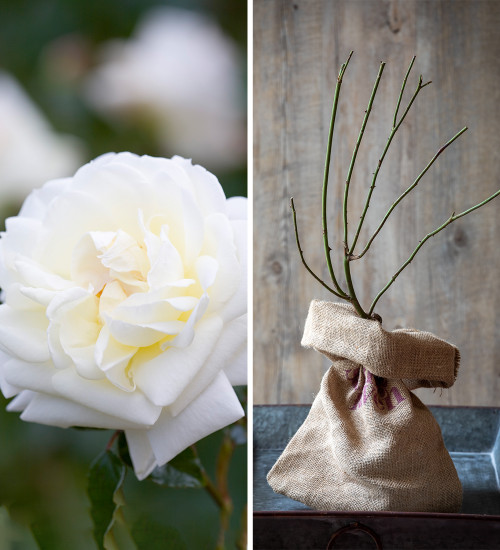 Rosa 'Madame Alfred Carrière' (Climbing) Gift Set