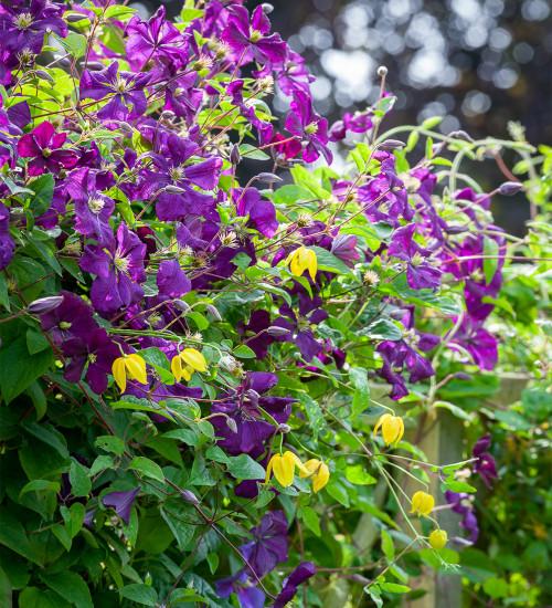 Clematis viticella 'Etoile Violette'