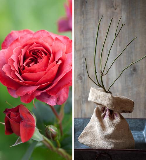 Rosa 'Hot Chocolate' (Floribunda) Gift Set