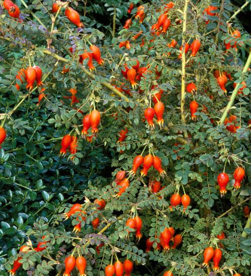 Rosa moyesii 'Geranium'