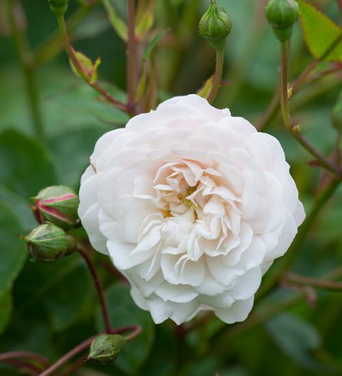 Rosa 'Little White Pet'