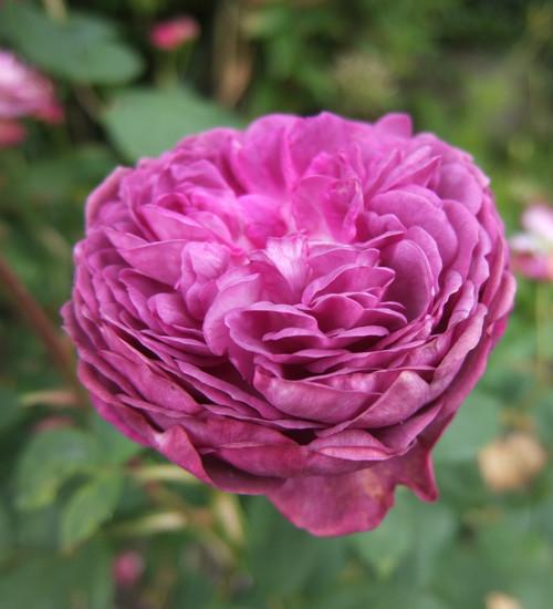 Rosa 'Reines des Violettes'
