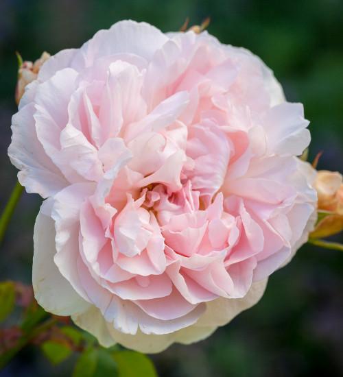 Rosa 'Aphrodite'