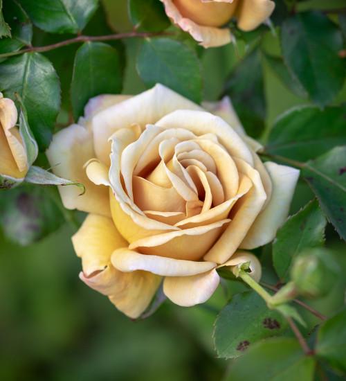 Rosa 'Honey Dijon' (Grandiflora)