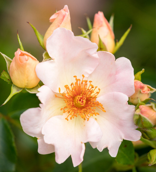 Rosa 'The Simple Life'