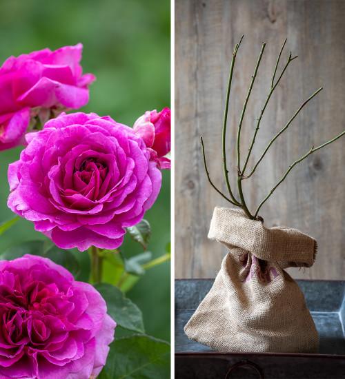 Rosa 'Timeless Purple' (Hybrid Tea) Gift Set