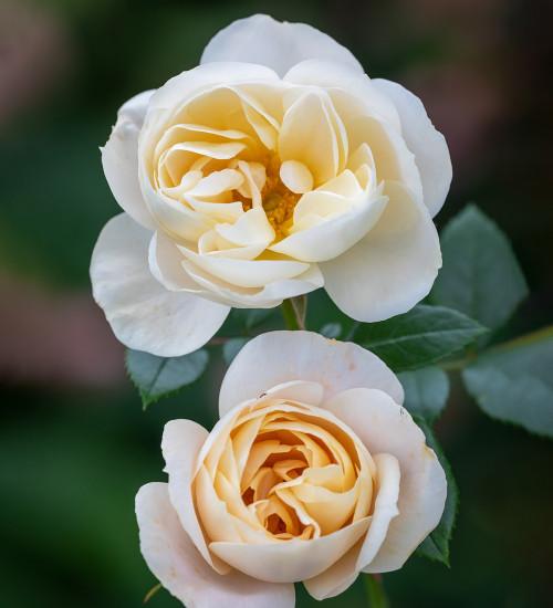 Rosa 'Champagne Moment'